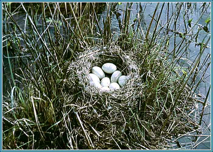 фото утиного гнезда